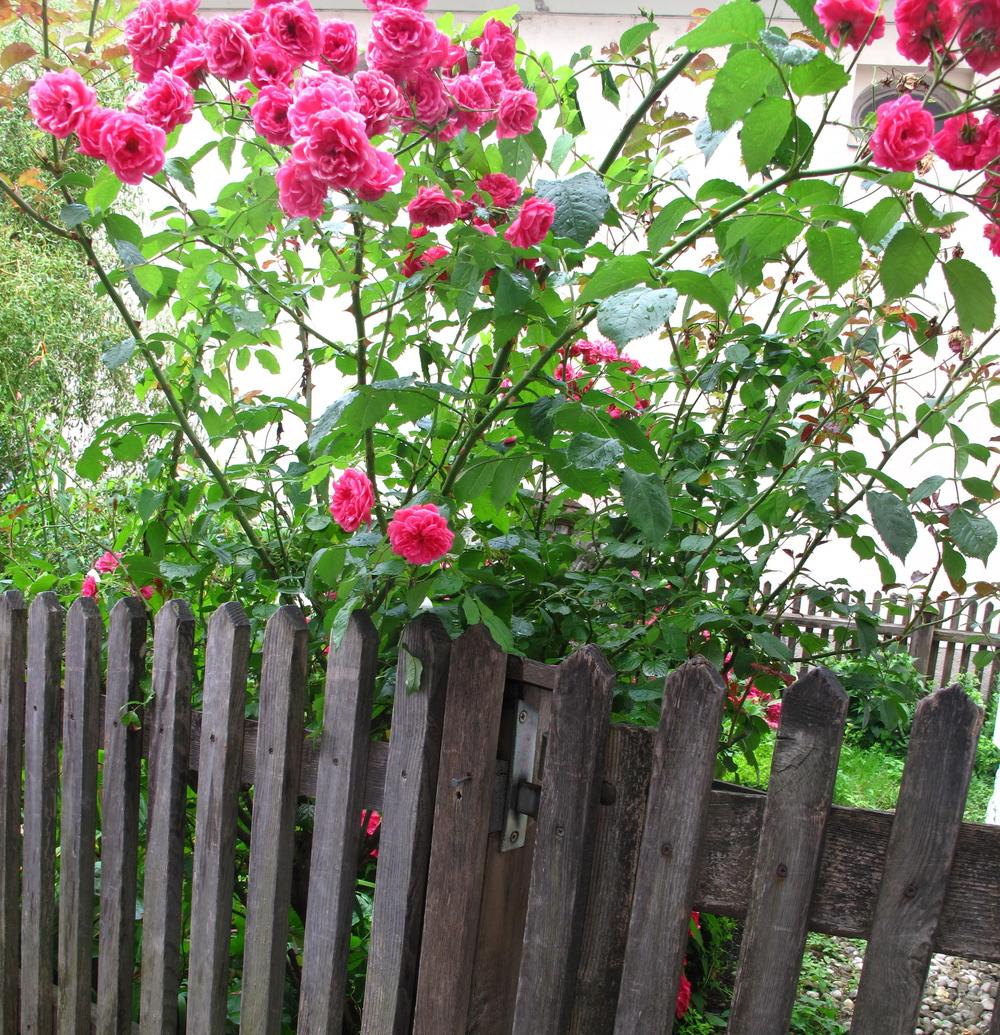 Pink roses at the wooden garden gate, Salzburg.