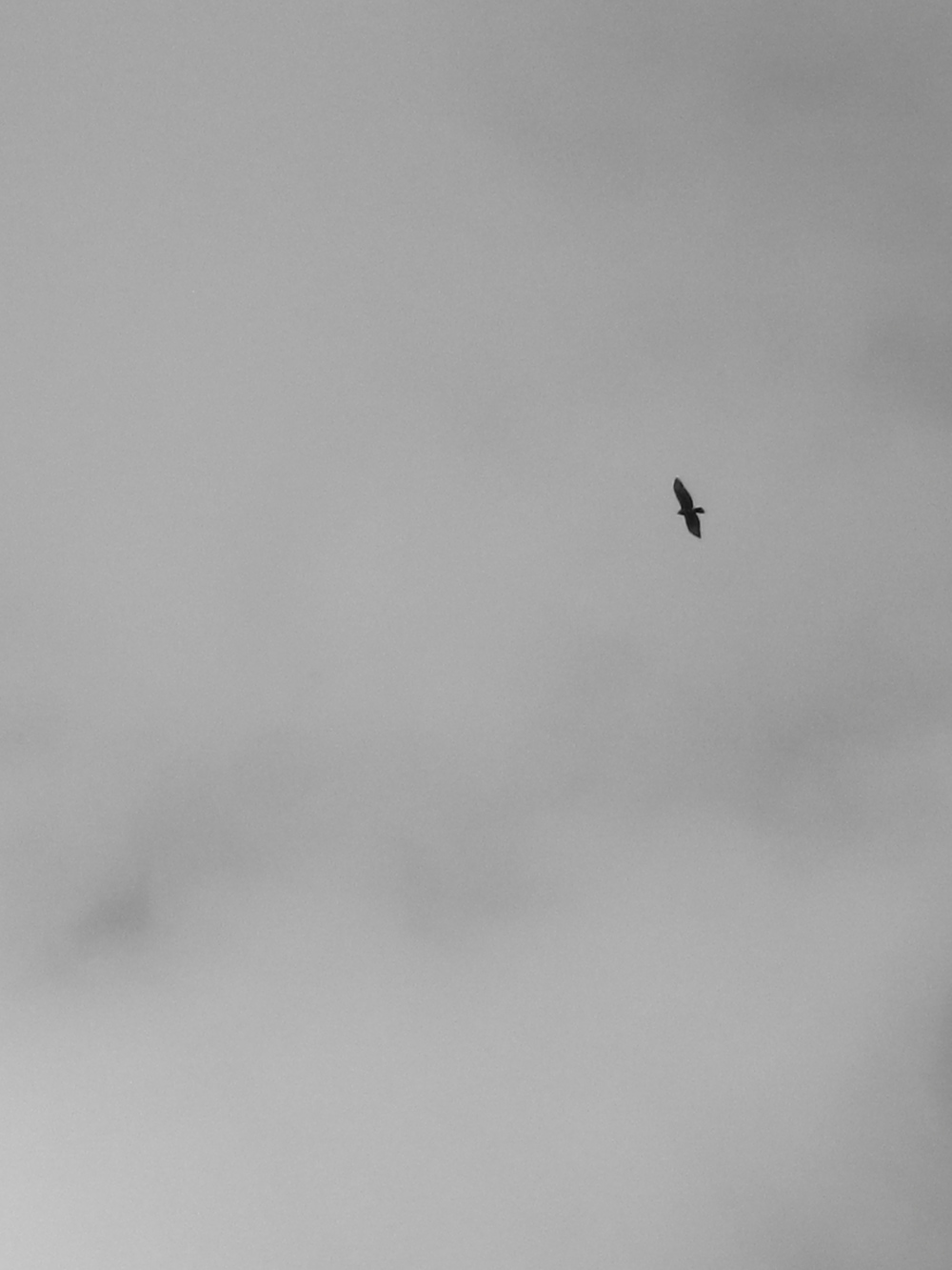 Bird of prey in the grey skies.