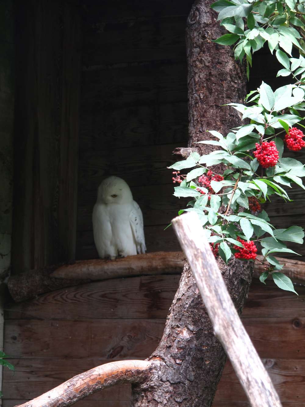 White owl and red berries.