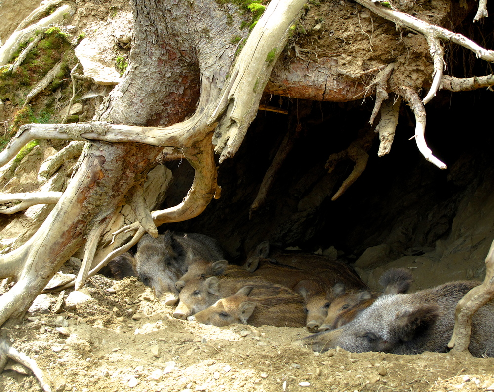 Baby wild pigs and their mother, sleeping in a hollowed out tree trunk.