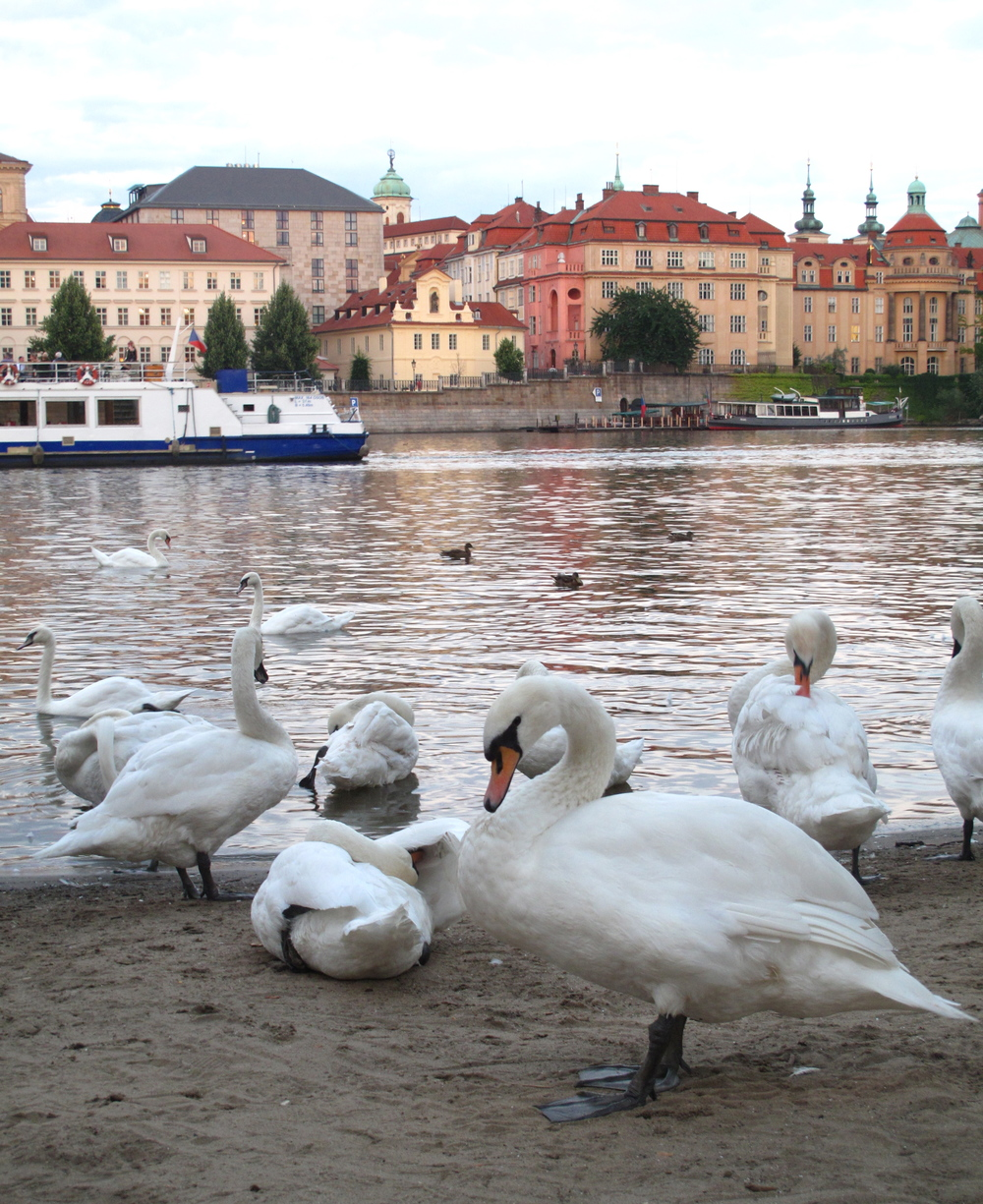 Swans by the Vltava river in Prague.