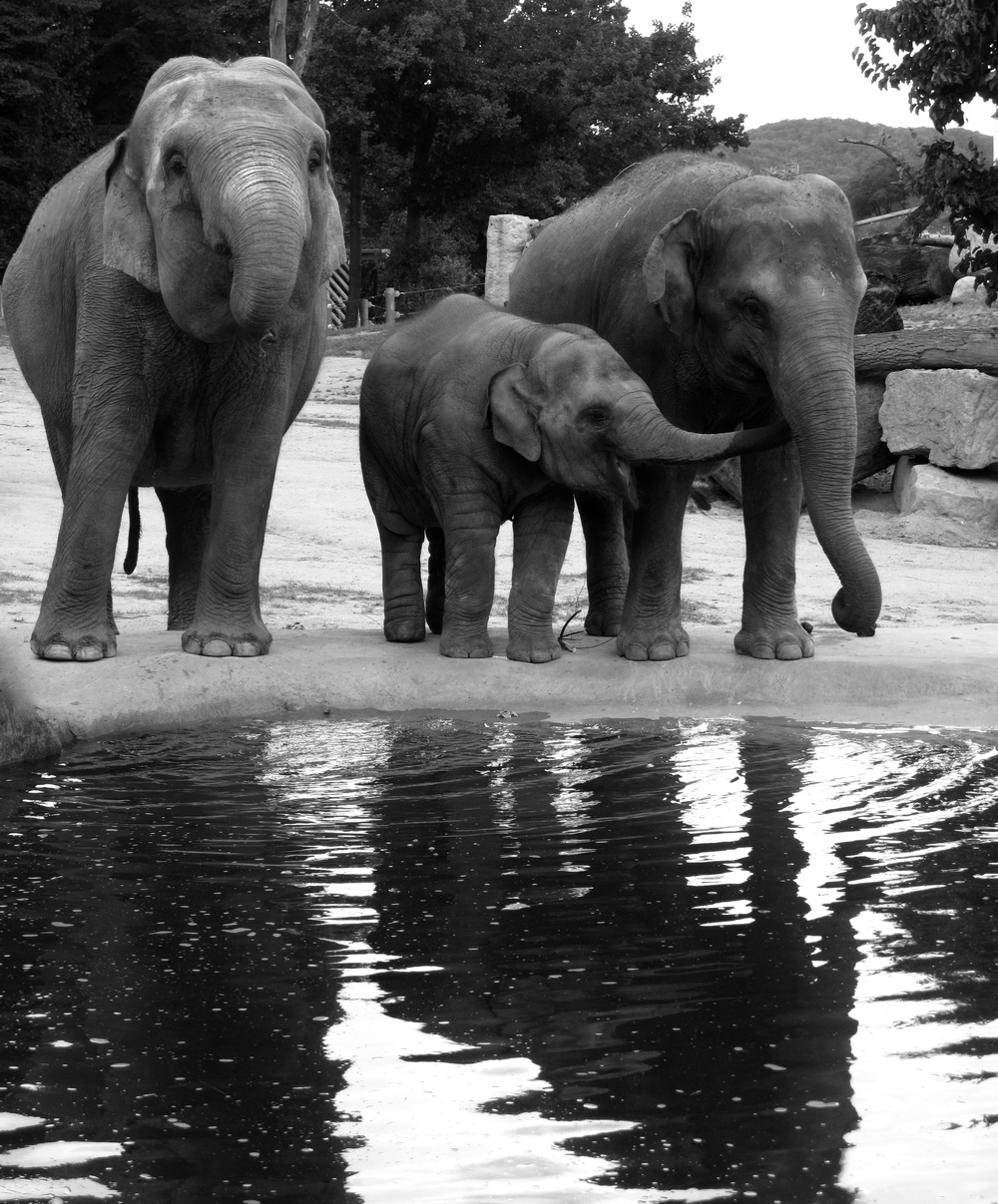 Elephants and baby elephant drinking water at Prague zoo.