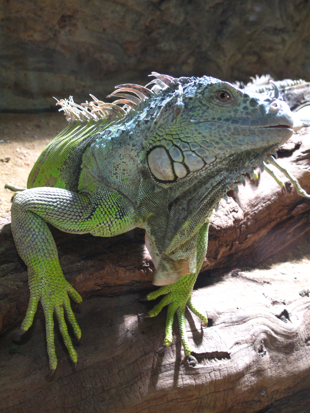 Green iguana looking at you.