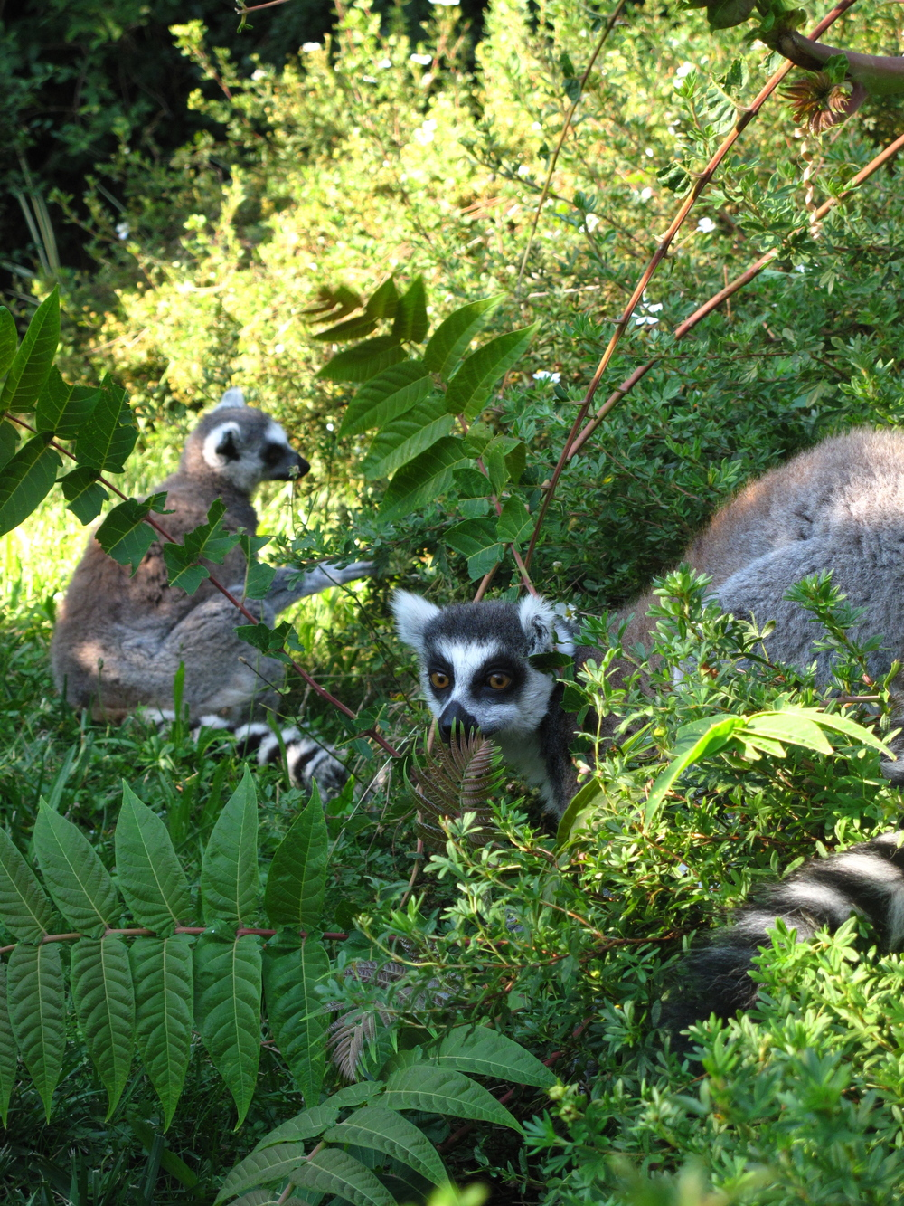 Two cute lemurs with black and white markings.
