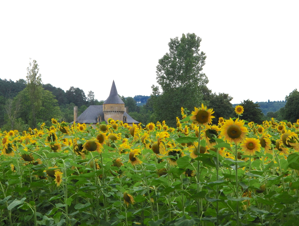 Sunflower fields and chateaus in the Dordogne