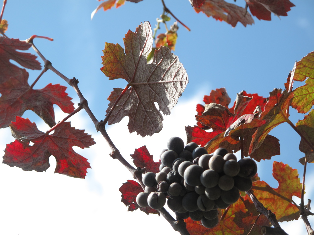 Purple grapes in the Dordogne and blue sky.
