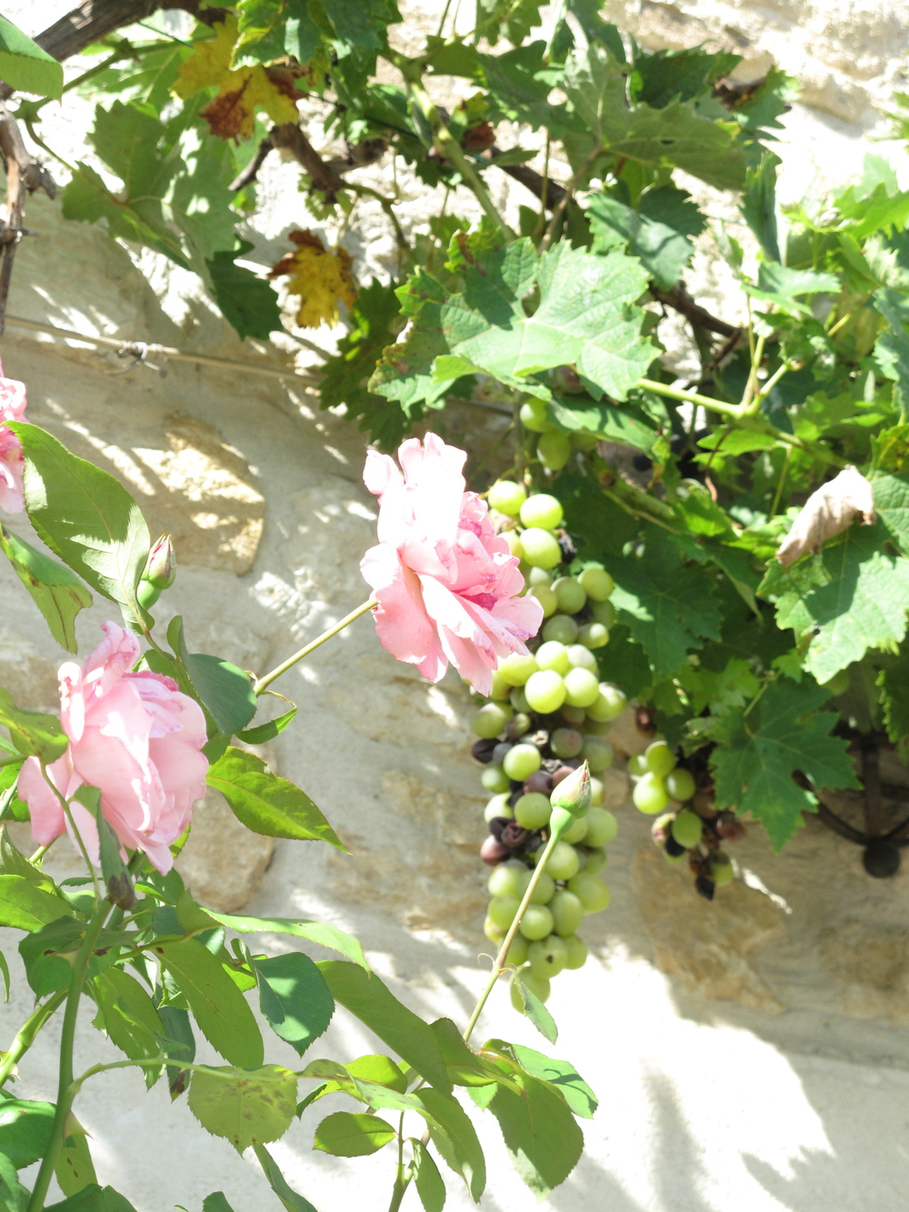 Grape vines and roses and stone walls in the Dordogne.