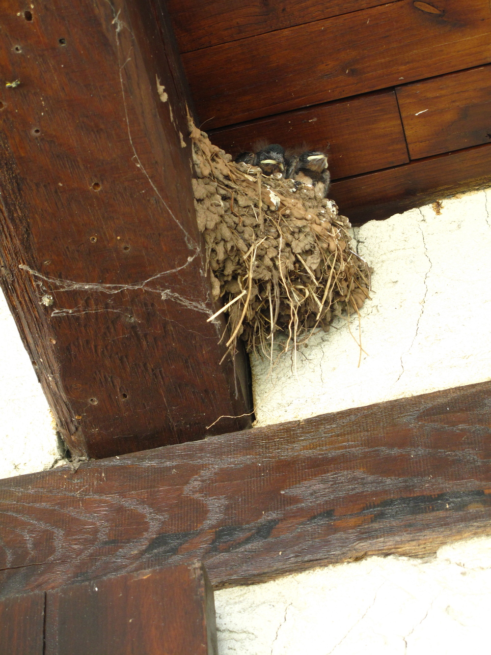 Baby swallow birds in a nest.
