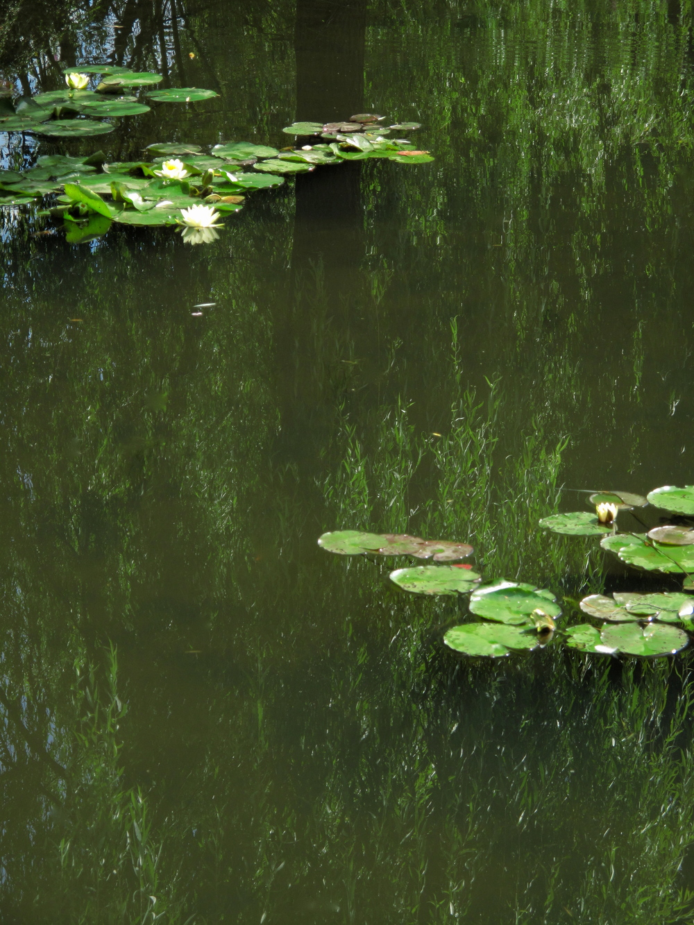 Nympheas - waterlilies and reflections of willow leaves at Giverny.