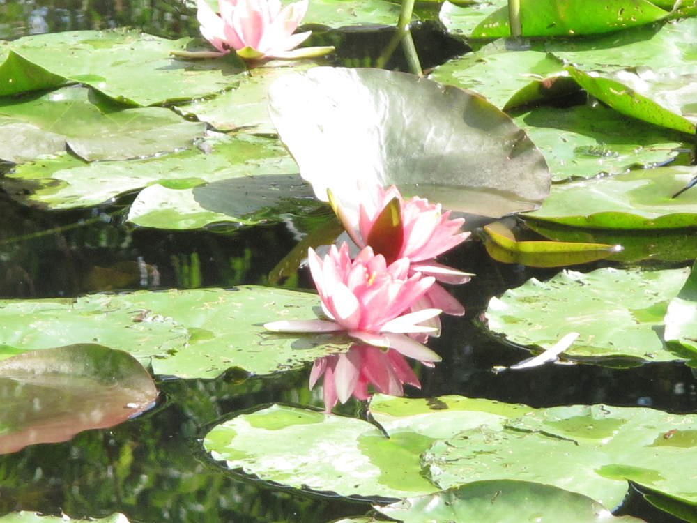 Waterlilies up close Giverny
