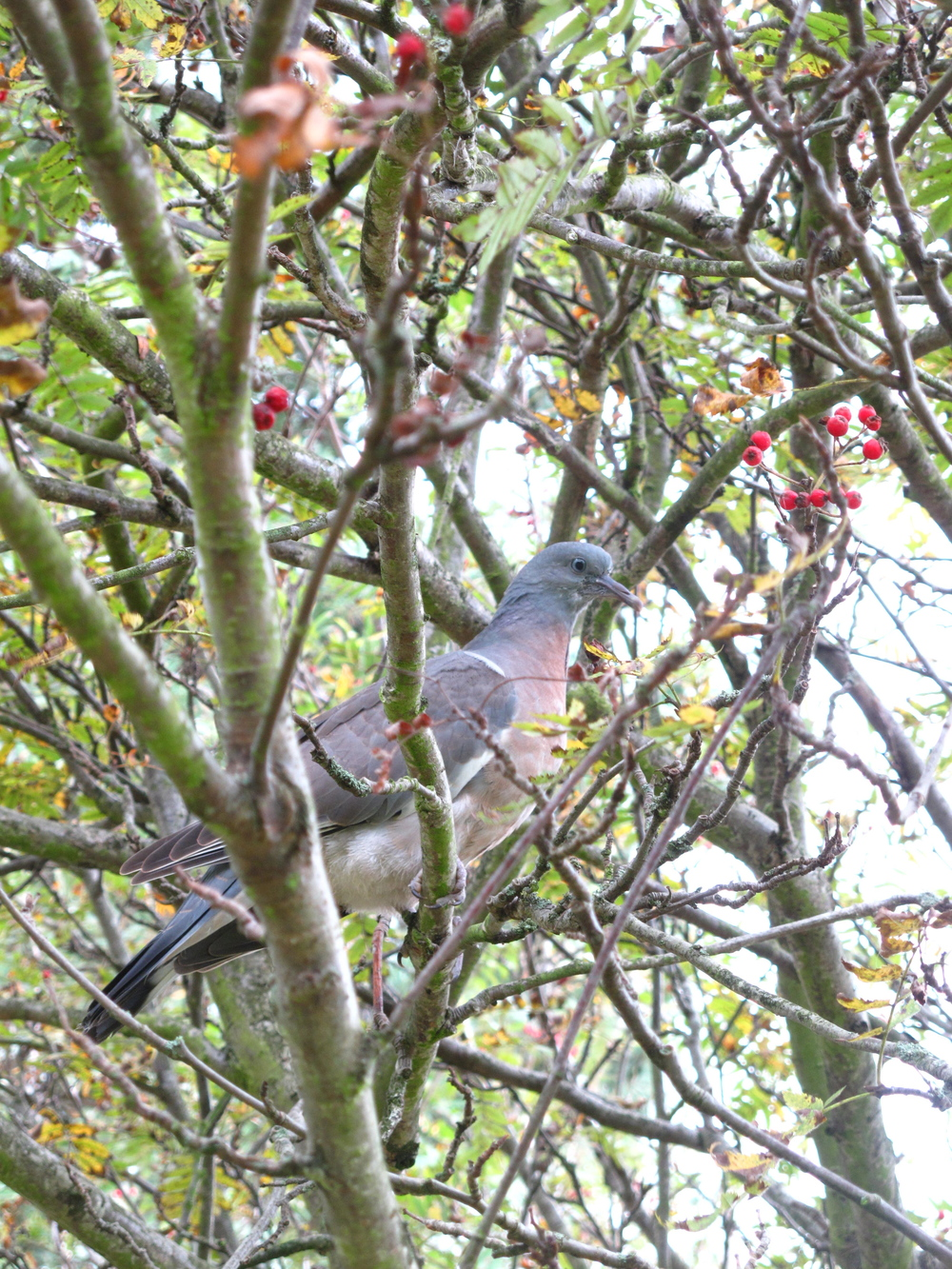 Pigeon in a tree in Dr. Neil's Garden.