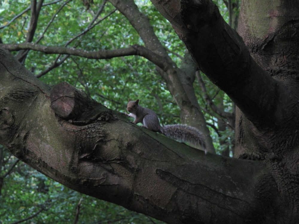 Squirrel in a dark green tree, on the branch.
