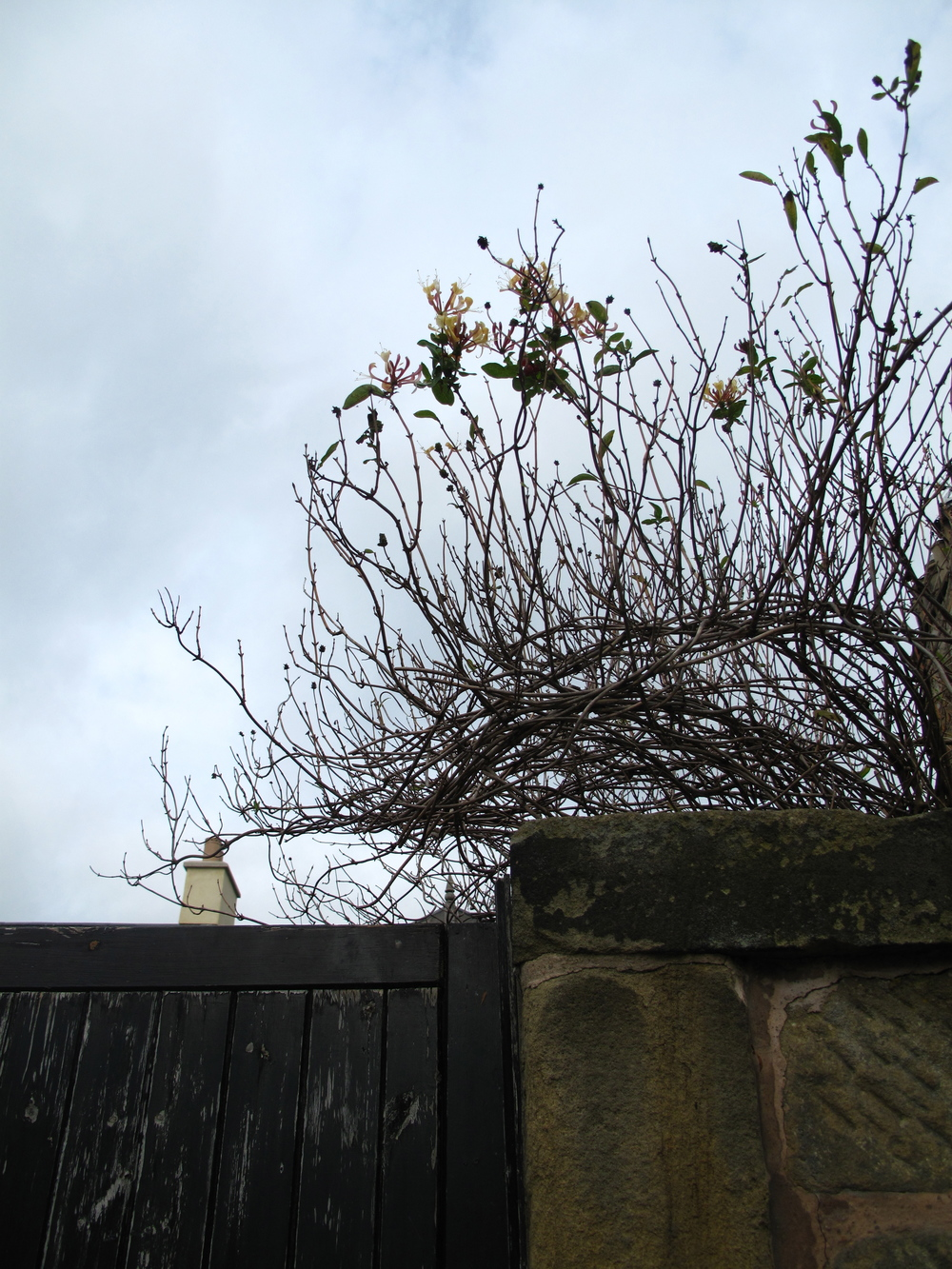 Flowers over a fence in the small village of Duddingston, Edinburgh.
