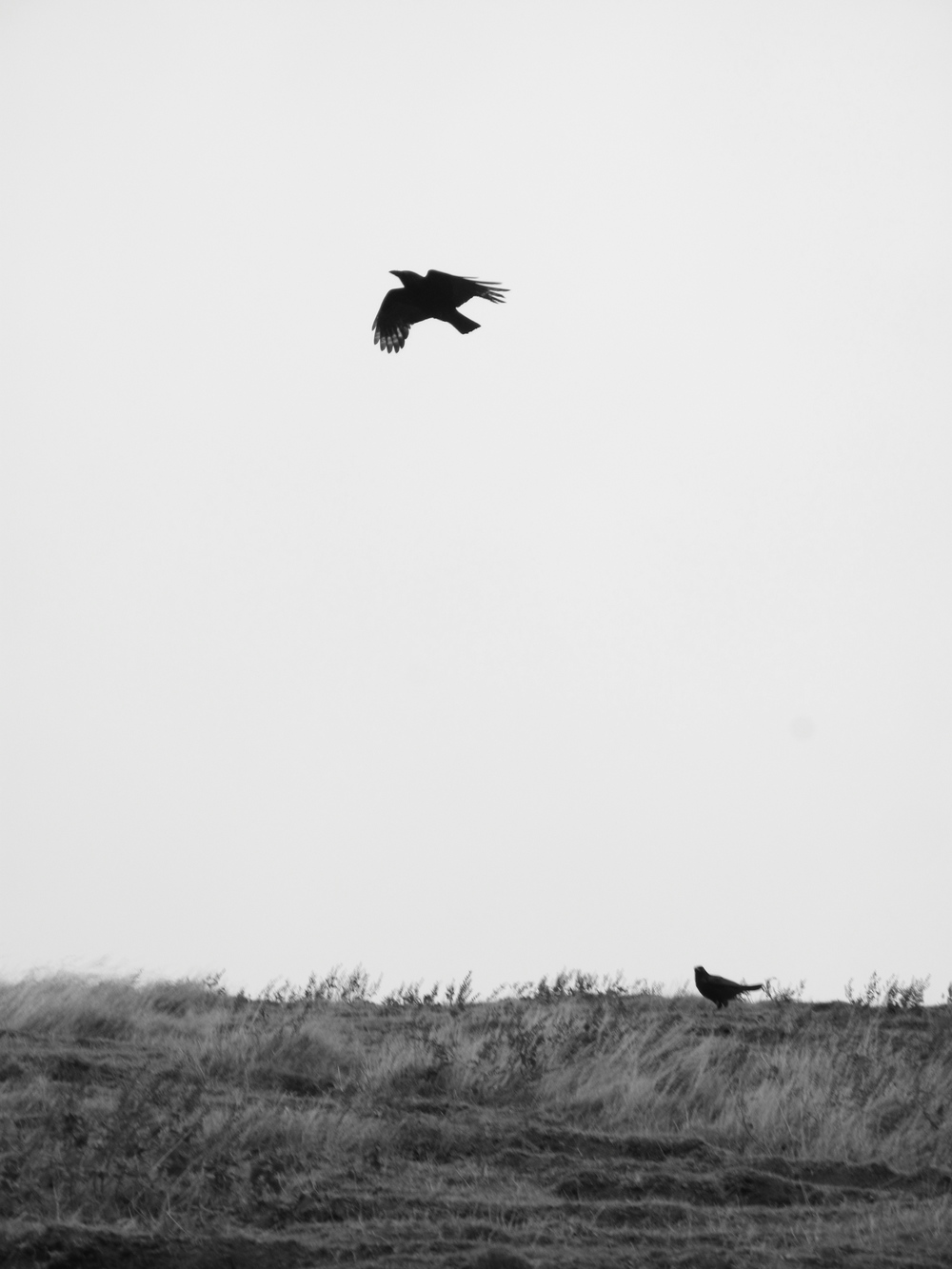 Crows dancing in the wind - Holyrood Park.