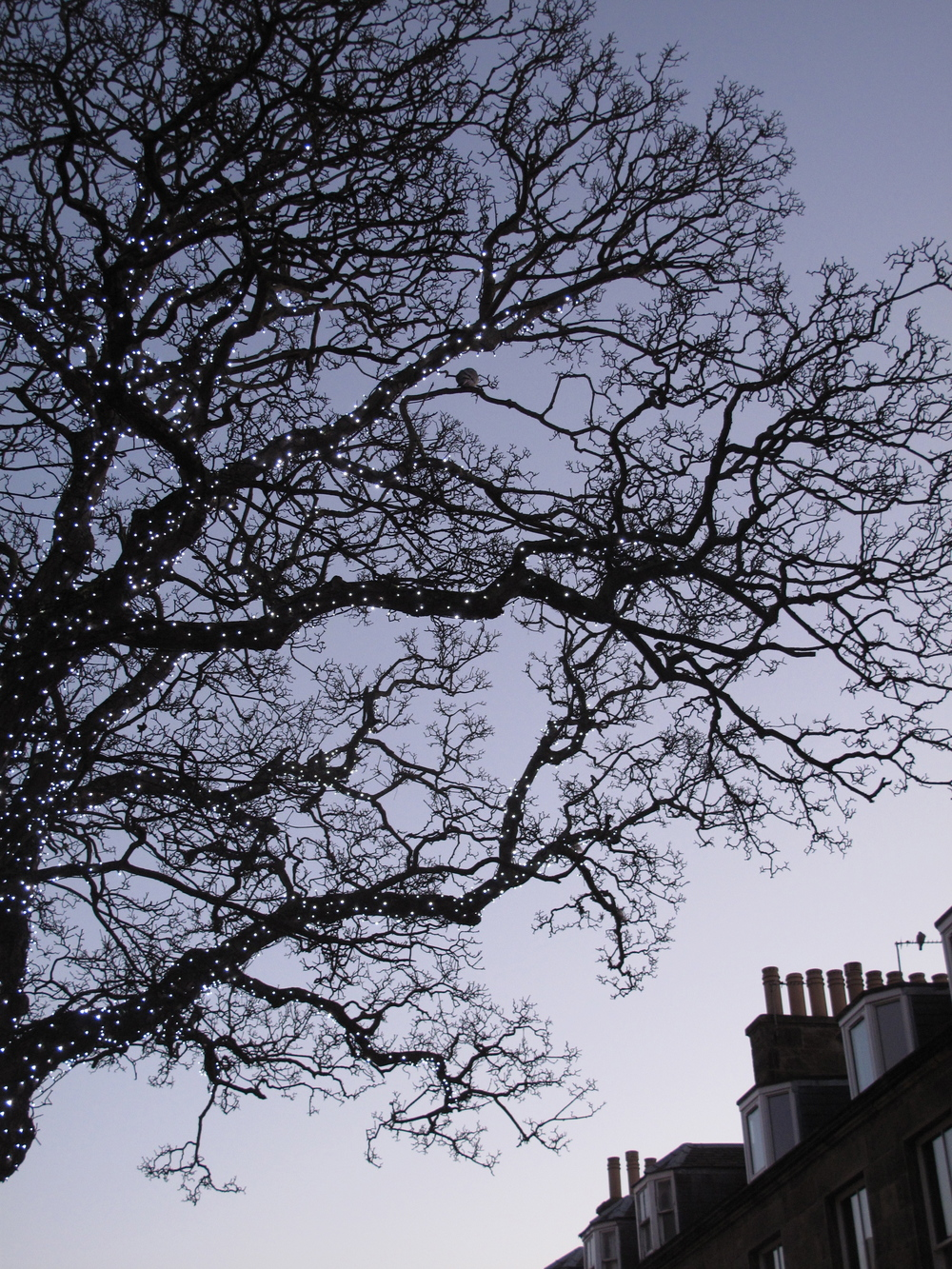 Christmas lights in bare tree branches.