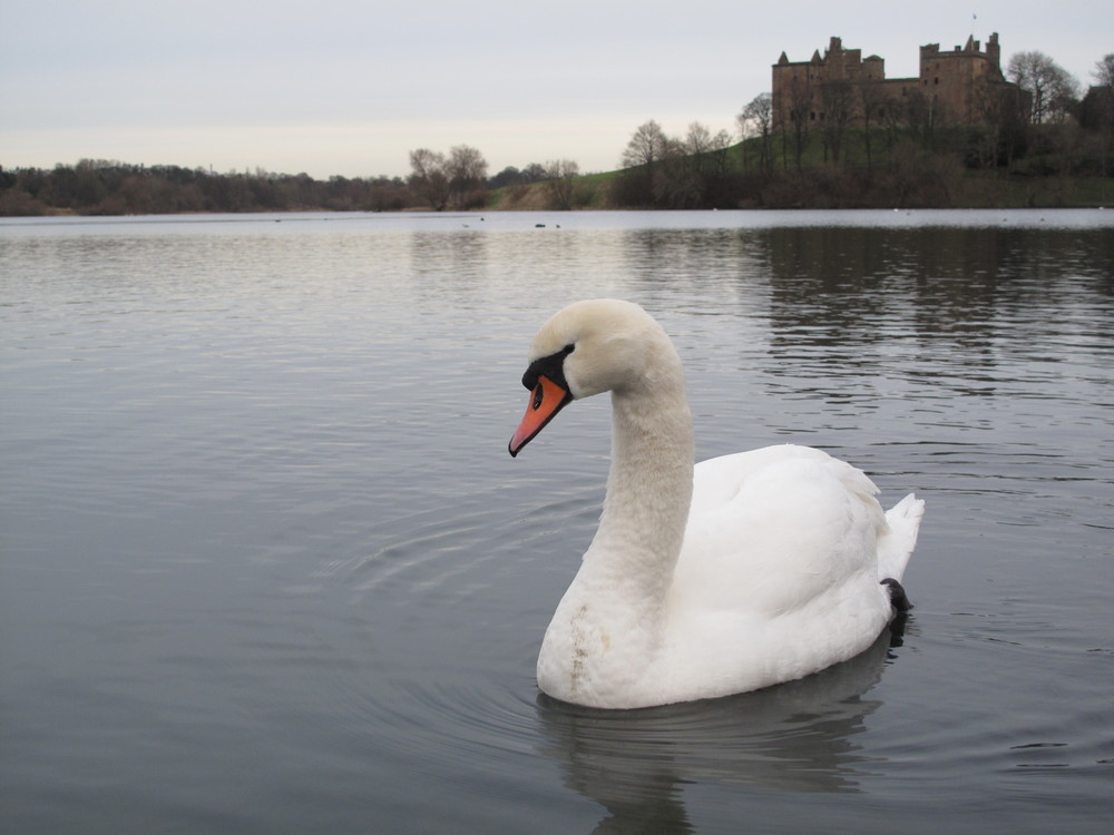 Swan in front of Linlithgow Palace, on the loch.