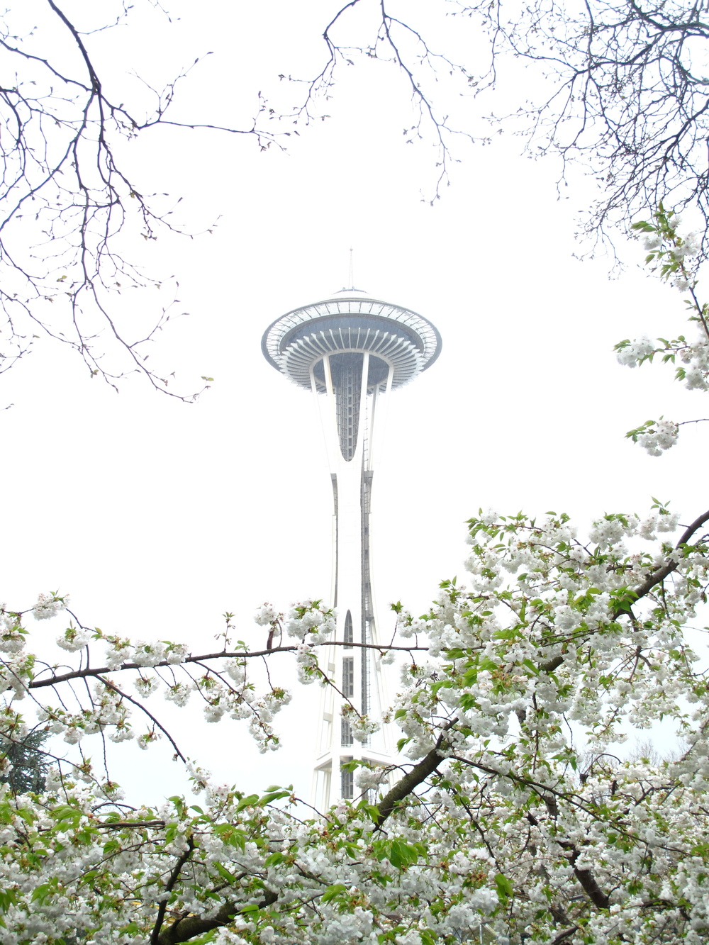Space Needle seen from below in the Spring with cherry blossoms.