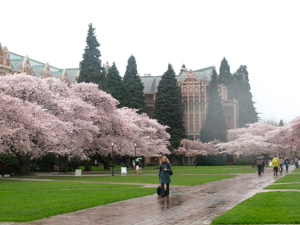 Seattle cherry blossoms in the spring rain, University of Washington.