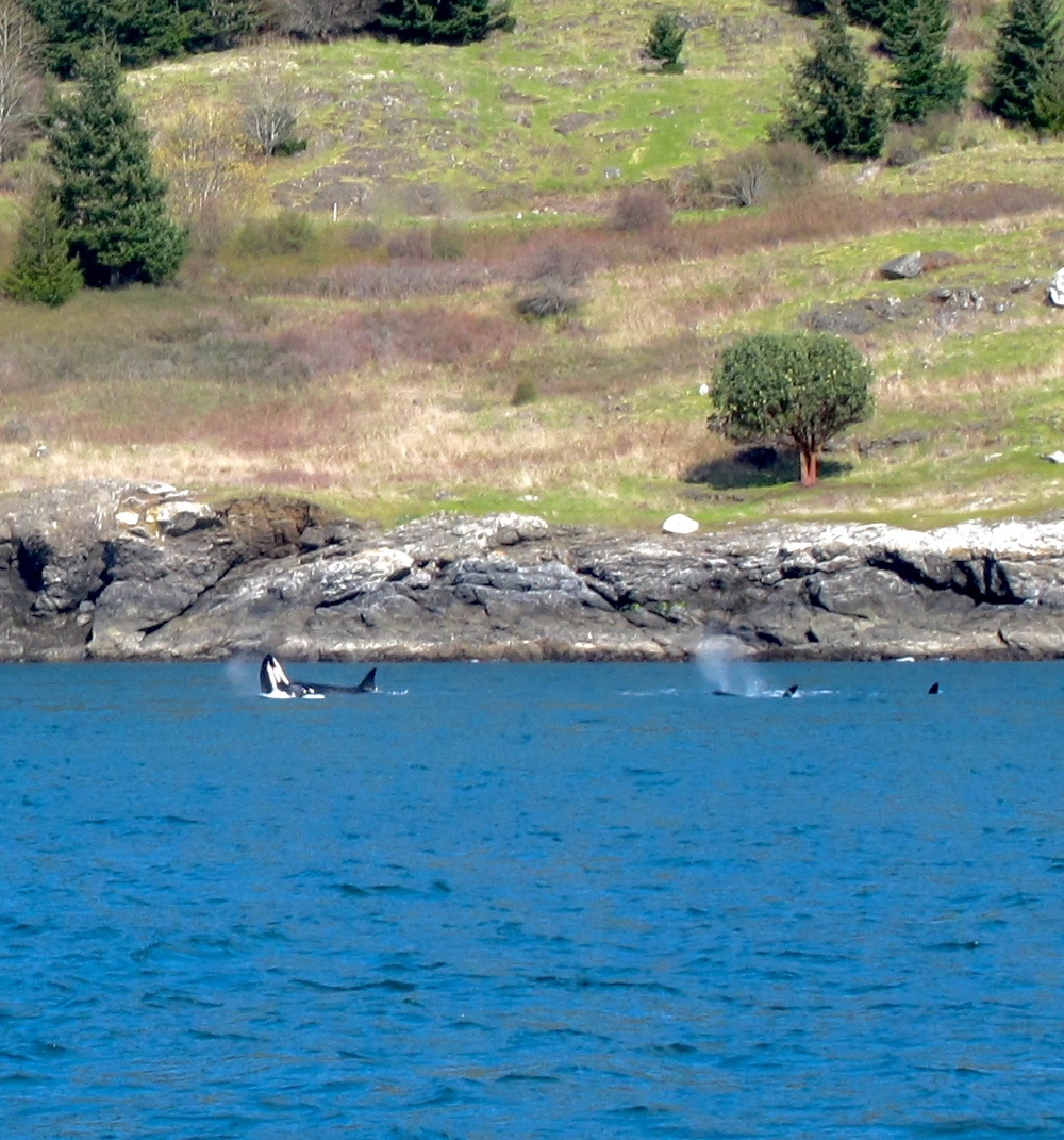 Baby orca doing a half breach, along the coast of the San Juan islands.