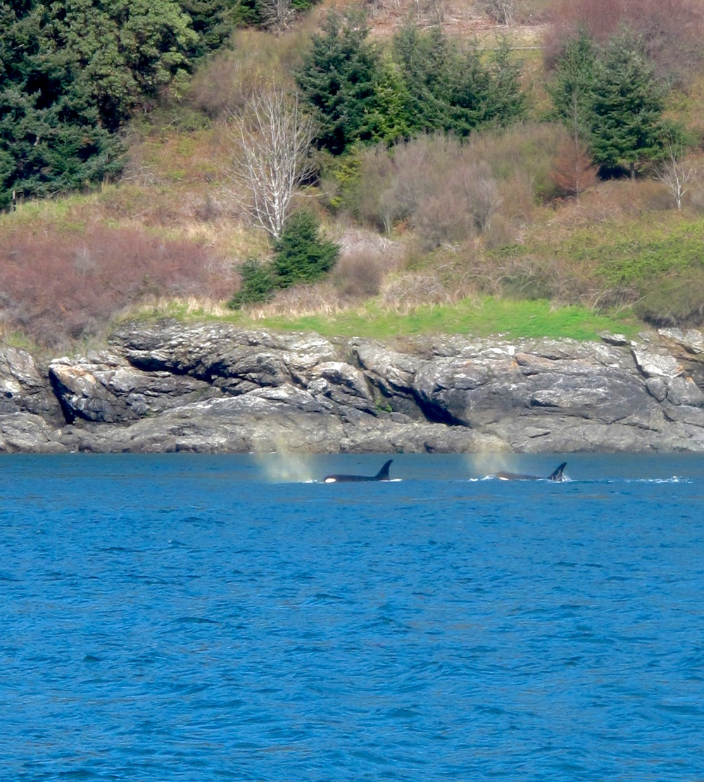 Two Orcas spouting sea water in plumes by the coast.