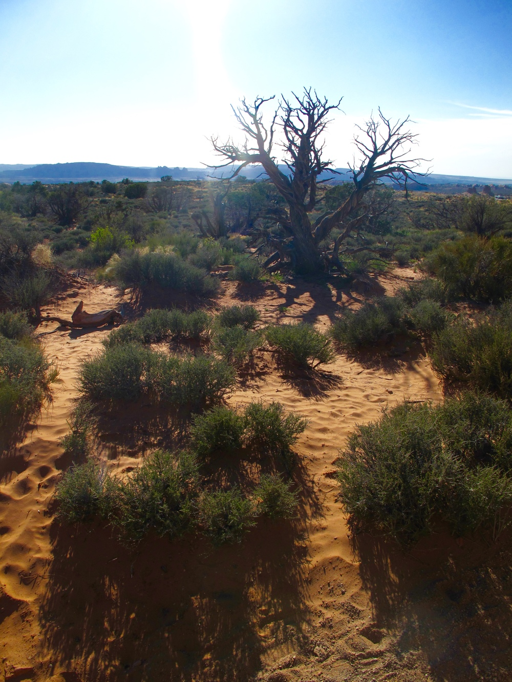 Dry desert tree and sand, Utah.
