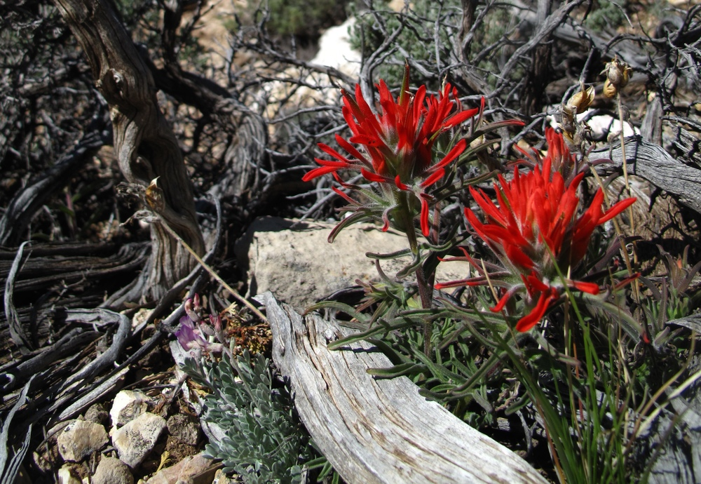 Spring at the Grand Canyon - red desert flowers.