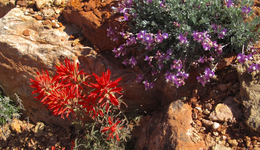Red and purple desert flowers in the Grand Canyon in spring time.