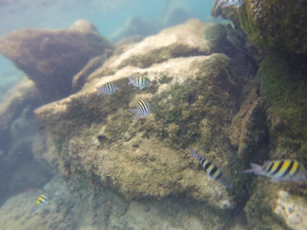 Yellow and black striped fish in a lagoon, Akumal, Mexico.