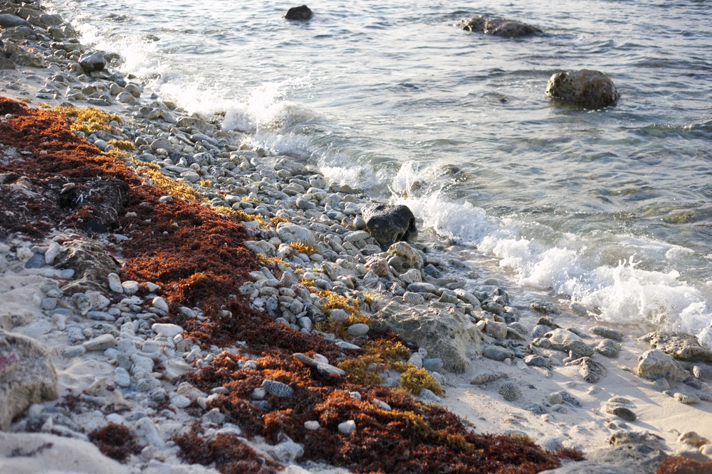 Red seaweed on the shore.