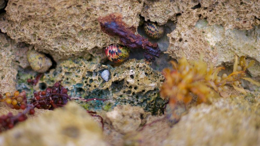 Red and black sea snail shell, in a rock pool in Mexico.