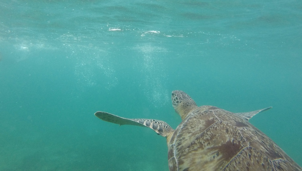 Swimming with wild sea turtles in the open sea, Mexico.
