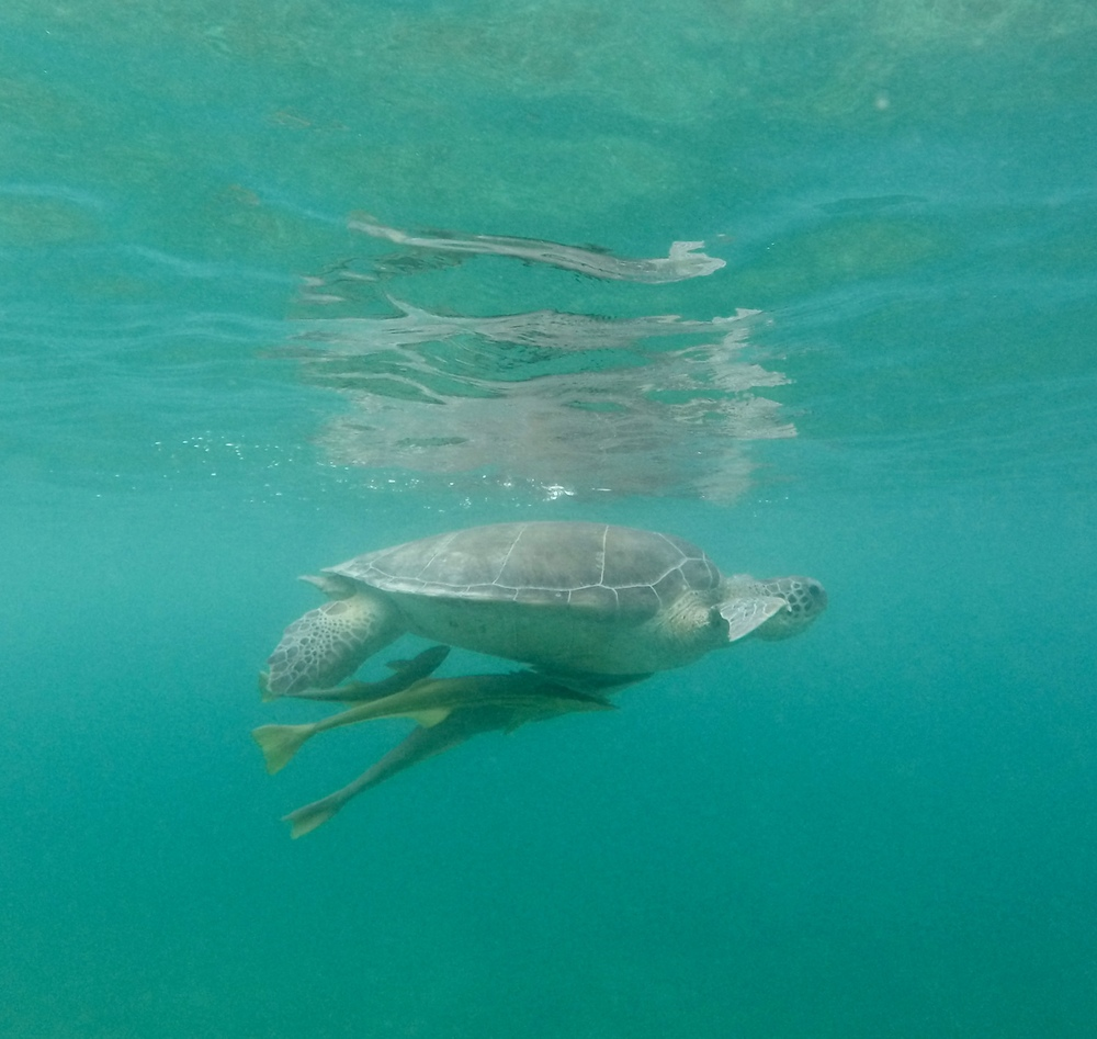 Sea turtle surfacing with two fish underneath.