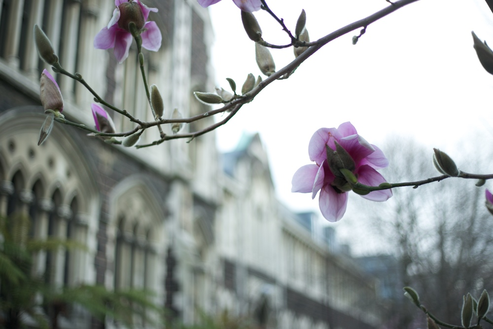 The magnolia trees at the University of Otago in Spring.