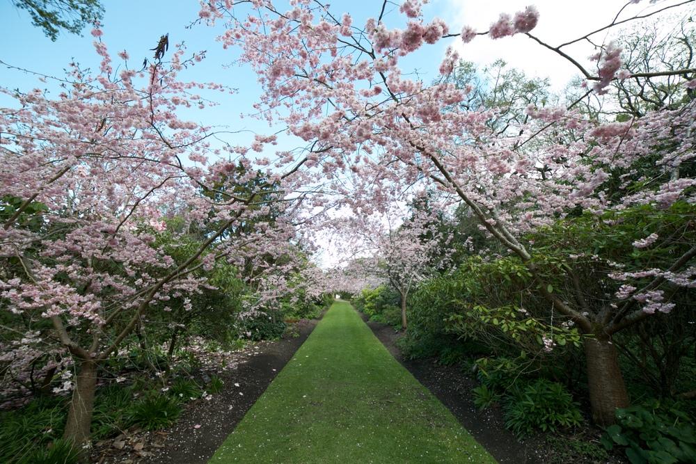 Cherry tree lane in full bloom, Dunedin Botanic Gardens