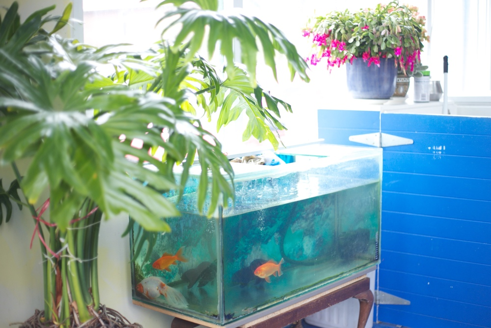 A tank with goldfish at the fish and chip shop.