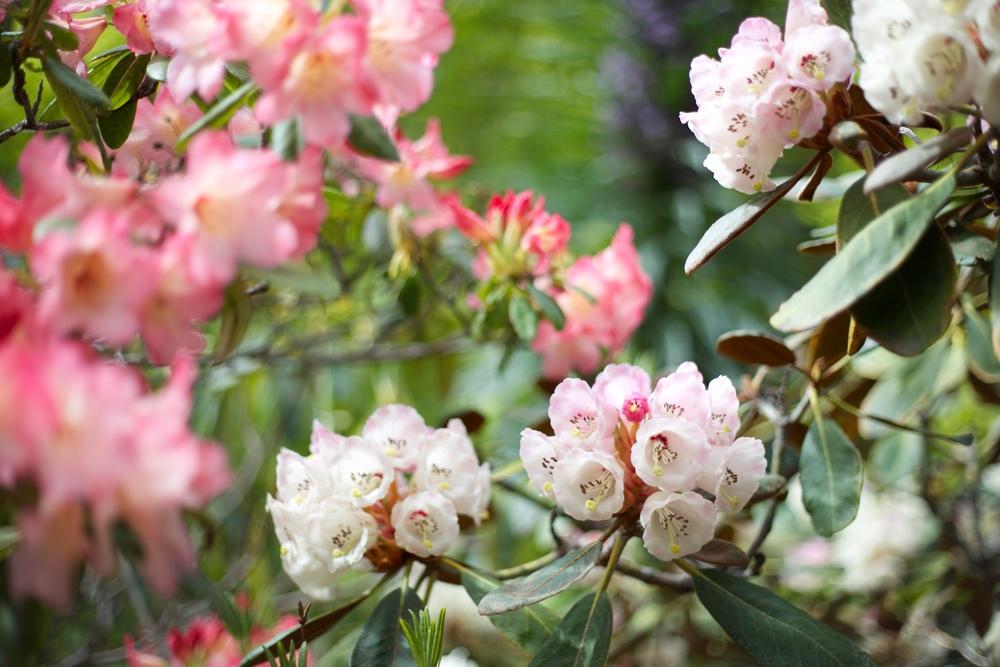 Pink rhododendrons at Tannock Glen gardens, Dunedin.