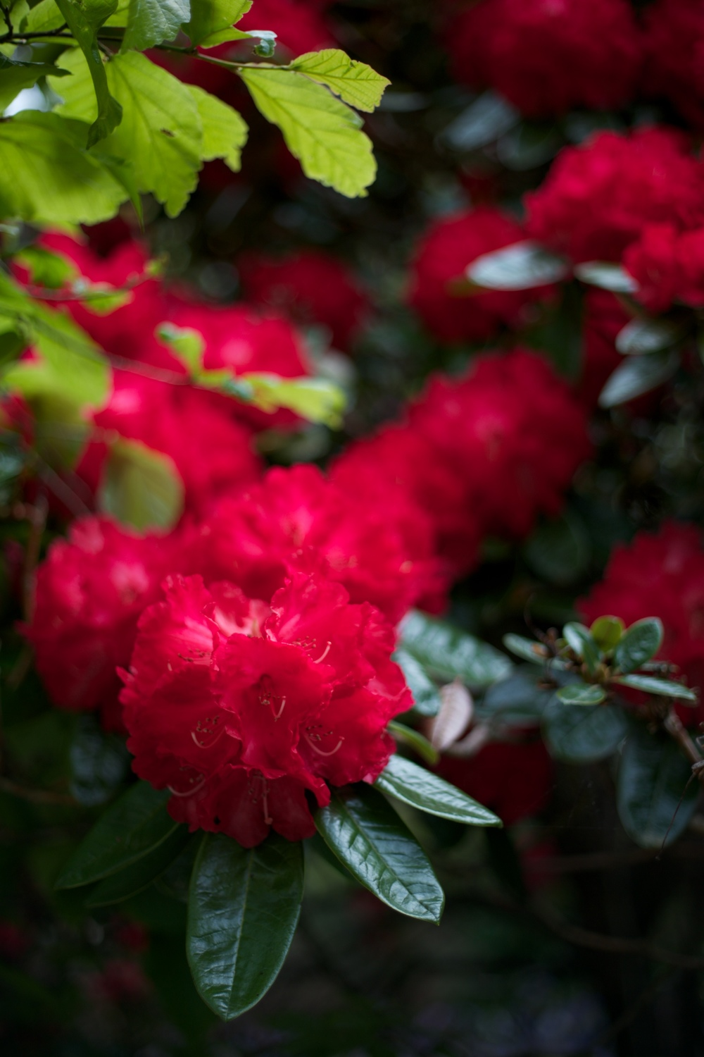 Red rhododendrons during rhododendron week, Dunedin.