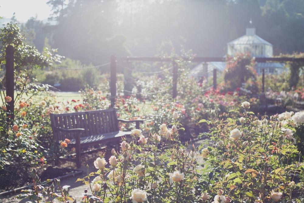 The rose garden at the Dunedin Botanical Gardens, in summer.