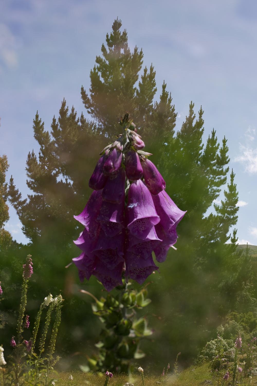 Foxglove flowers and fairy magic.