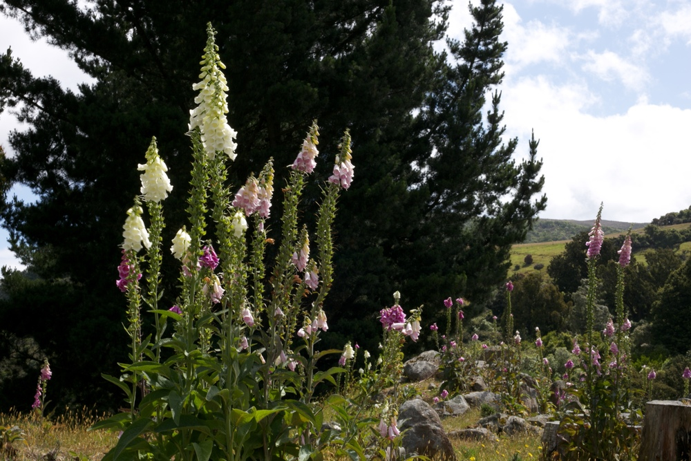 A patch of foxgloves where the fairies live.