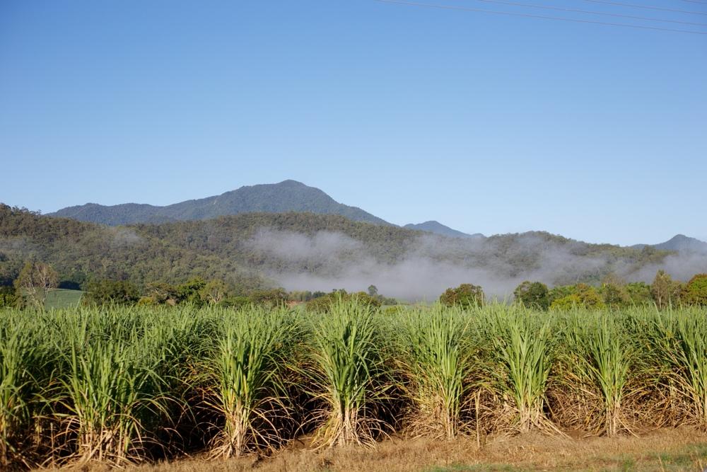 Sugar cane fields in Australia's tropical climate.