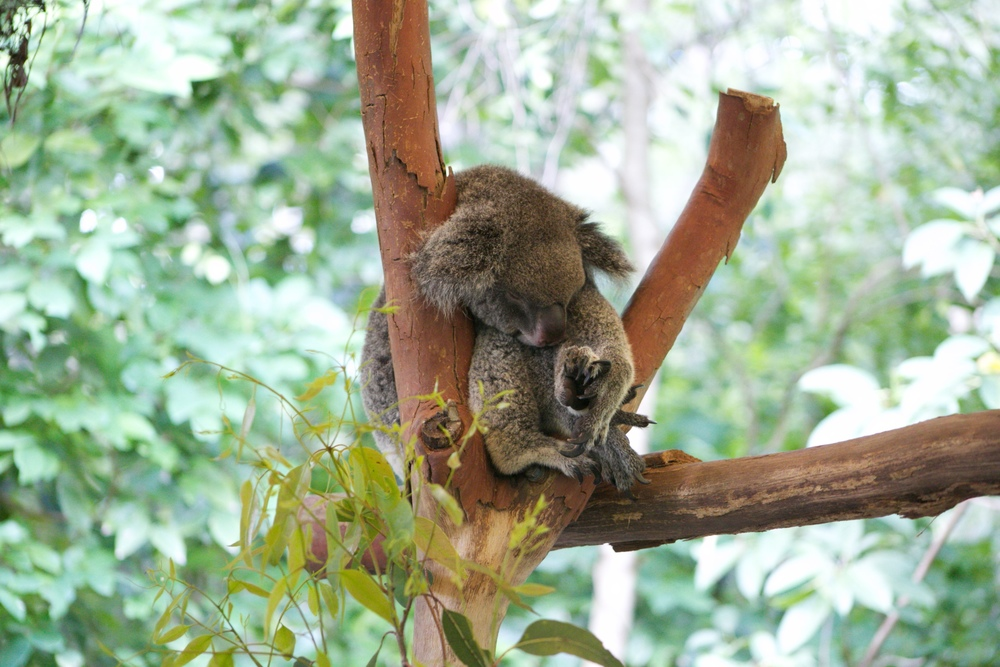 A koala sleeping in the crook of a tree.