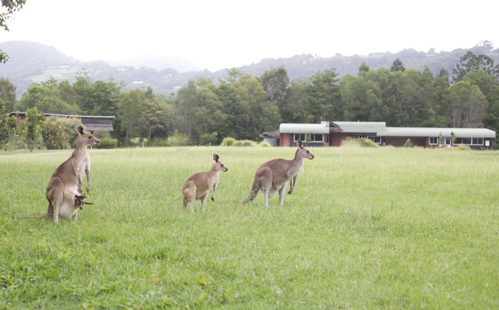 Wild kangaroos and a joey.