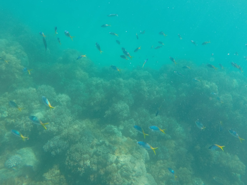 A school of blue and yellow fish on the reef.