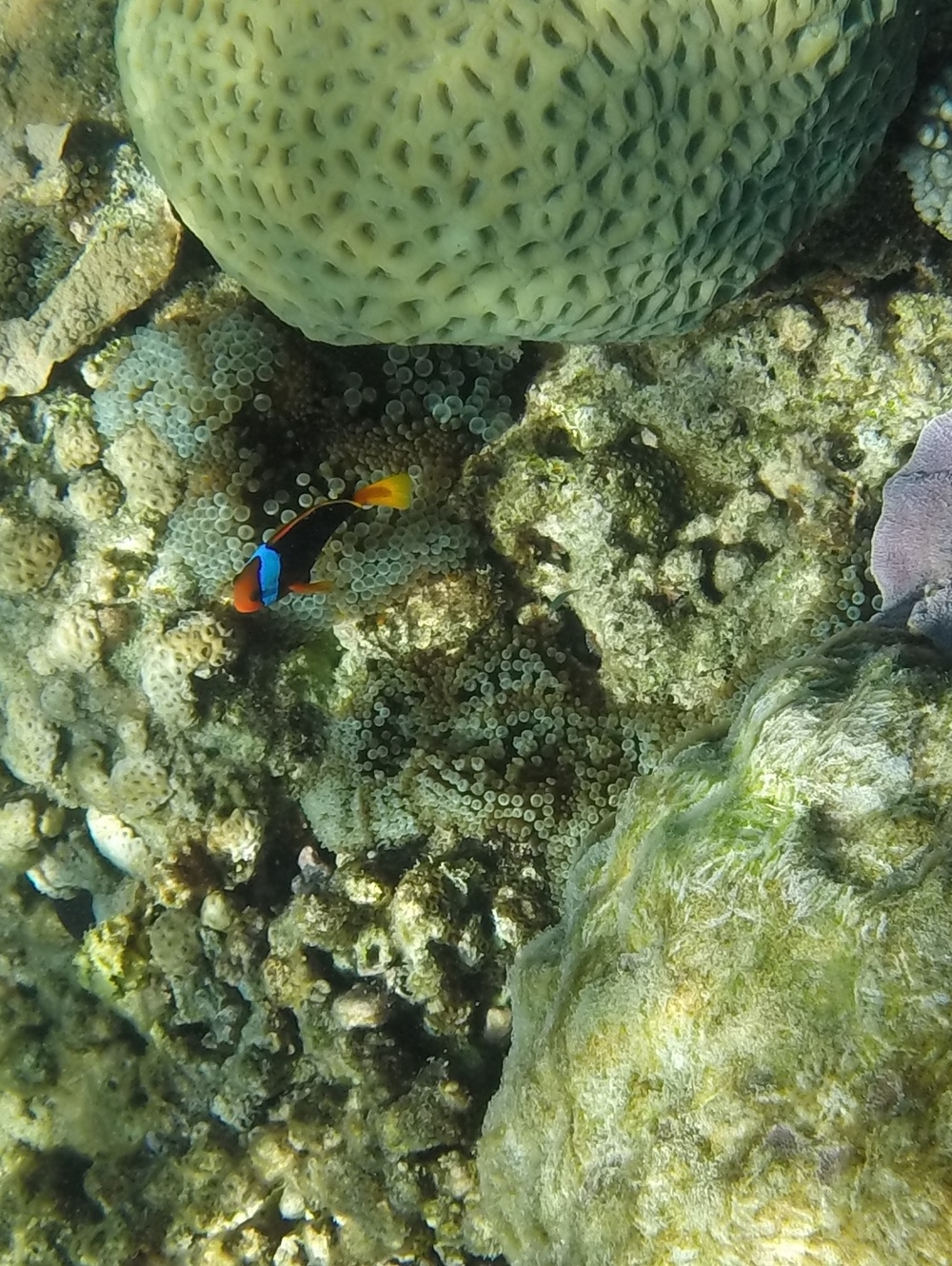 A clownfish on the Great Barrier Reef.