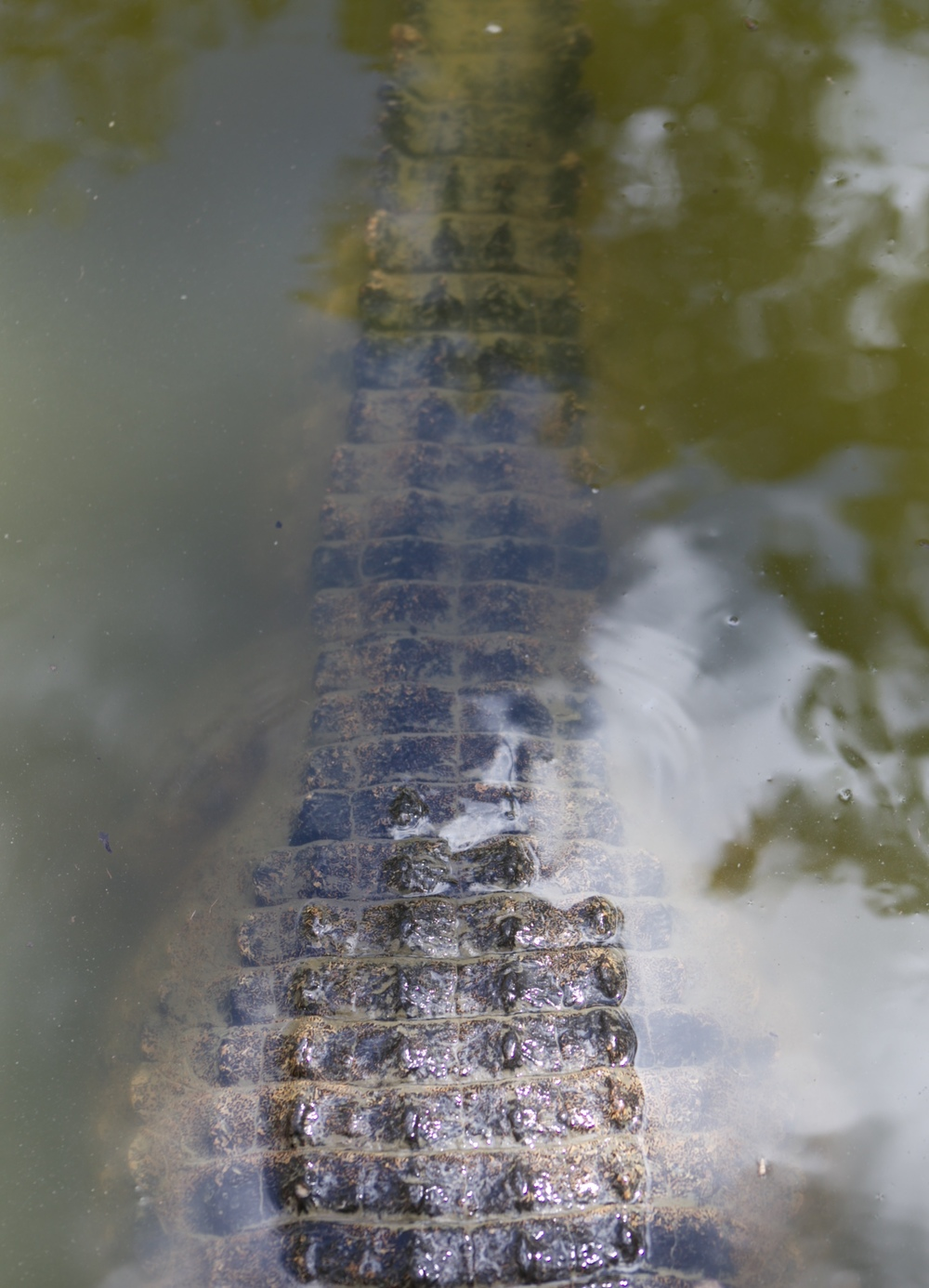 The back and tail of an Australian crocodile.
