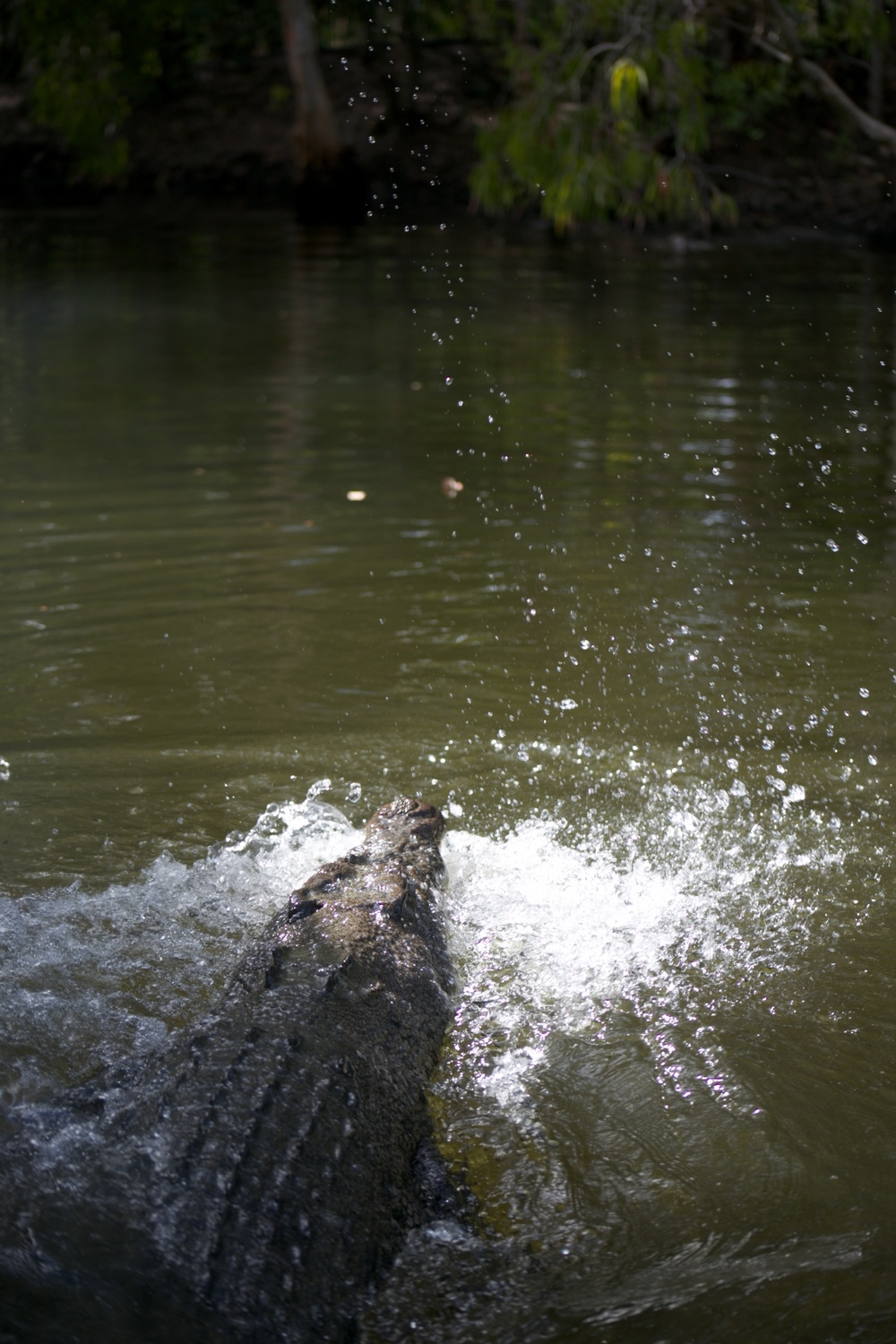 A crocodile lunging to catch food from the water.
