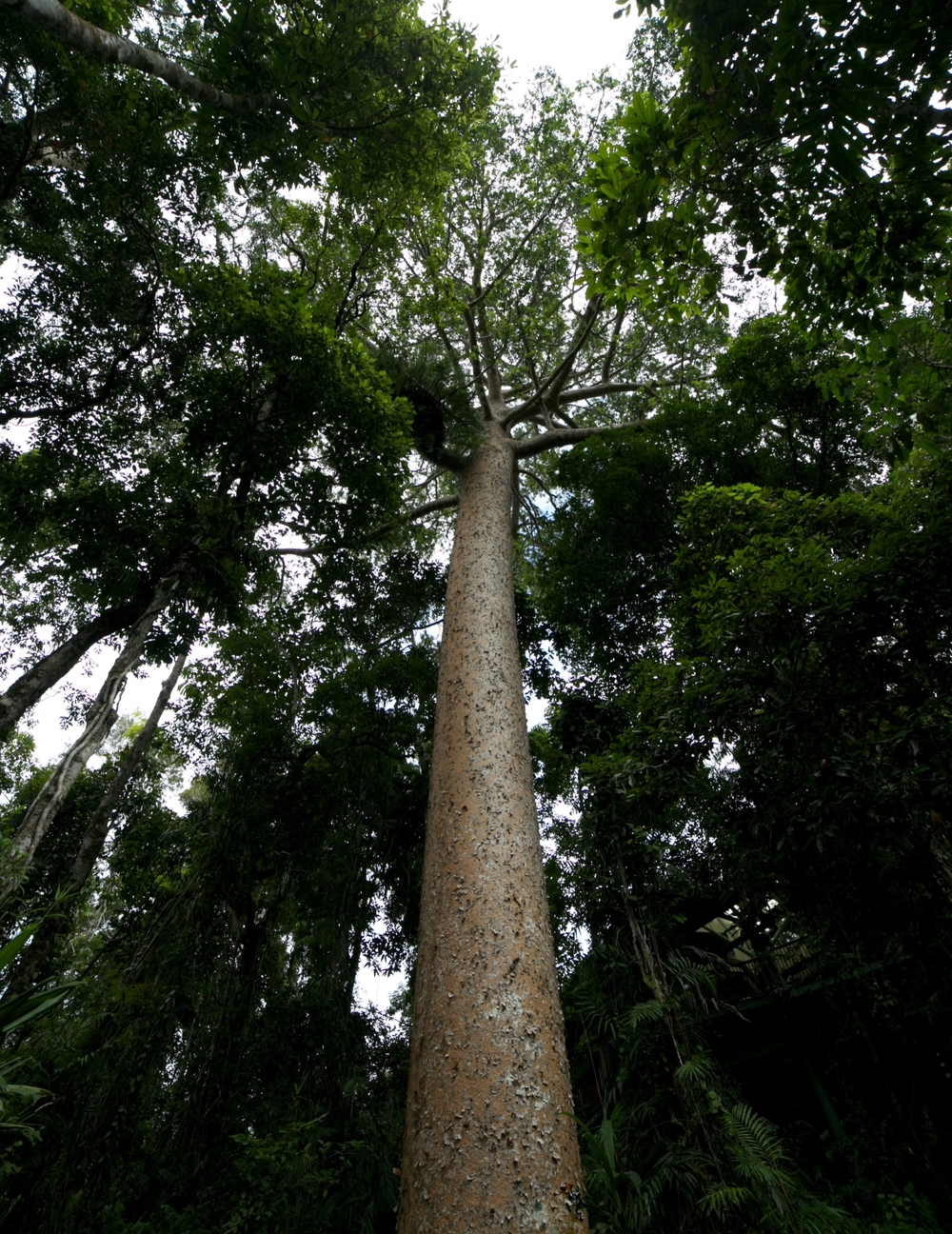 A 400 year old Kauri tree in the Kuranda rainforest, Australia.