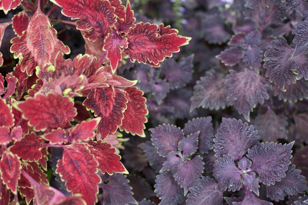 Biophilia - purple and red leaves in the gardens of Crystal Castle.