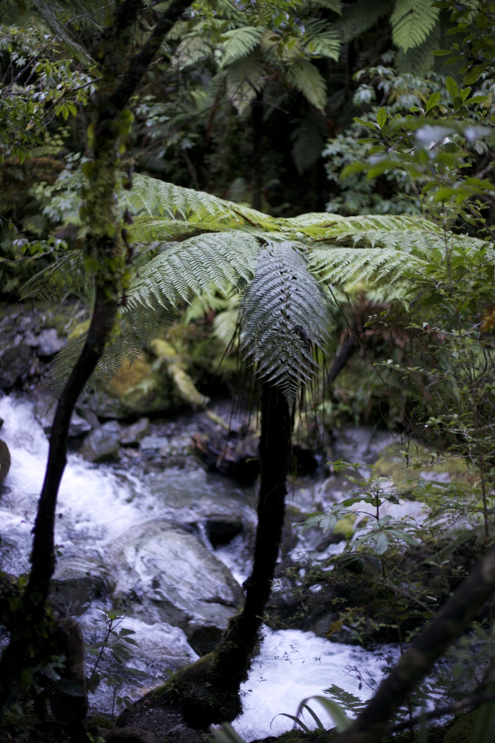 A small ponga tree by a river in the New Zealand native bush.